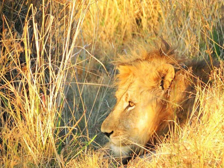 Löwe im Dinokeng Game Reserve