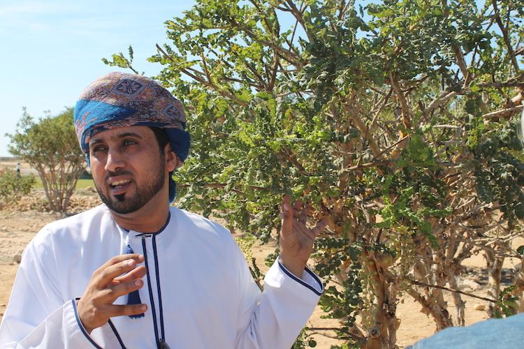 Weihrauchstrauch in Salalah